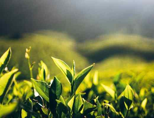 Best Green Tea Perfumes & Fragrances for Men and Women in 2021