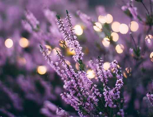 Best Lavender Perfumes & Fragrances for Men and Women in 2021